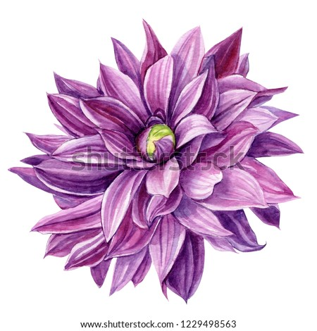 beautiful purple dahlia flower on an isolated white background, watercolor illustration