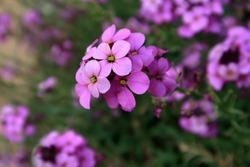 Beautiful purple Erysimum Bowles Mauve