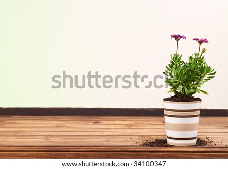 Beautiful Purple Flower in Striped Ceramic Pot Standing Alone on Wooden Table