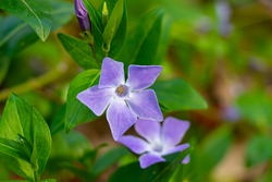 Beautiful purple flower of Vinca Pervinca on background of green leaves. Vinca minor konw as small periwinkle, small periwinkle, ordinary periwinkle