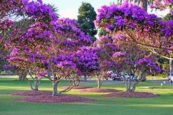 Beautiful purple flowering Tibouchina trees in sunset light in Centennial Park, Sydney, Australia