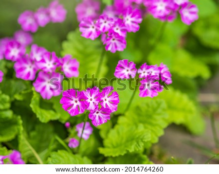 Beautiful purple flowers Japanese primrose, Primula sieboldii, Known also as Asiatic primrose and Cortusoides primula. Another scientific name is Primula patens. Stok fotoğraf ©