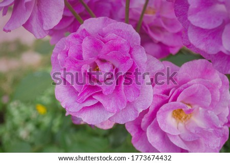 Beautiful purple hued rose. Blooming  lavender roses on the bush in rose garden.
