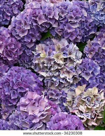 beautiful purple hydrangea