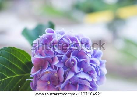 beautiful purple hydrangea ...
