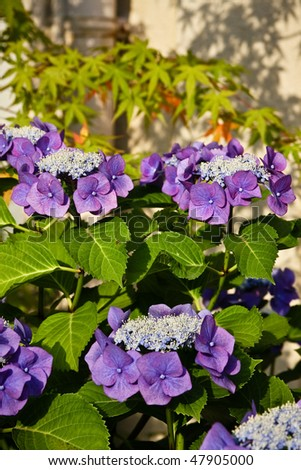 Beautiful purple japanese hydrangeas in close up