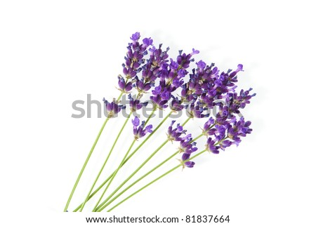 beautiful purple lavender isolated on white