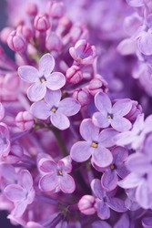 Beautiful purple lilac flowers. Closeup of common Lilac (Syringa vulgaris).
