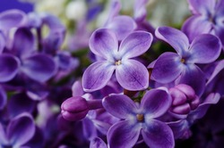 Beautiful purple lilac flowers. Macro photo of lilac spring flowers. Floral background.