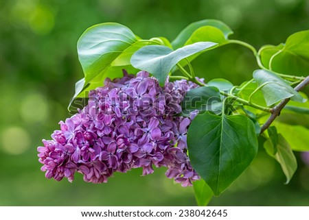 Beautiful purple lilac flowers outdoors. #238042645