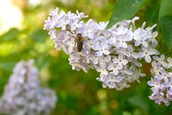 Beautiful purple lilac inflorescences with green foliage. Spring flowering of trees. Close-up, selective focus, macro.
