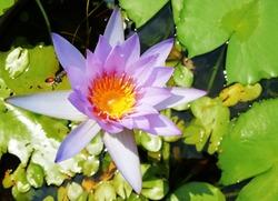 Beautiful purple lotus flower and a bee buzzing beside a flower.