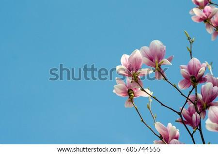 Beautiful purple magnolia flowers in the spring season on the magnolia tree. Blue sky background. Magnolia blossom.