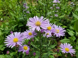 Beautiful purple Marguerite flowers in the farm.