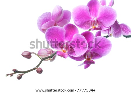 Beautiful purple orchid flowers isolated on white, closeup shot