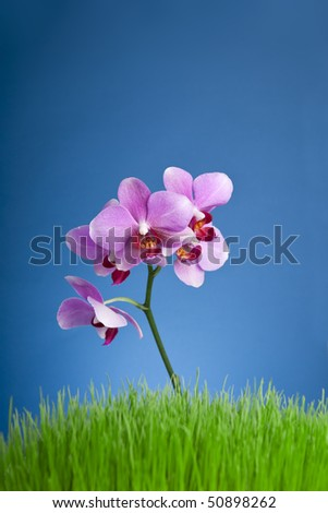 Beautiful purple orchid, grass and blue  background