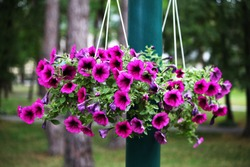 Beautiful purple petunias in hanging pots for a cafe or restaurant