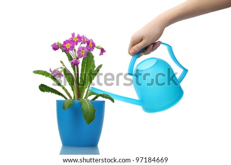 Beautiful purple primrose in a flowerpot and watering can isolated on white