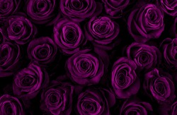 Beautiful purple roses background. Color of the holiday. Gift to a woman. Deep purple color.
