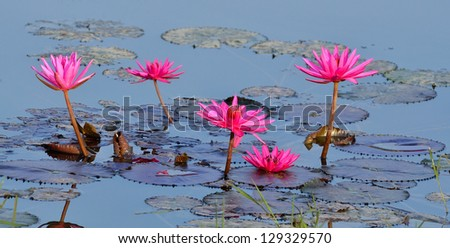 Beautiful purple water lilies floating on a lake
