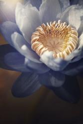 Beautiful purple water lily  flower,lotus flower