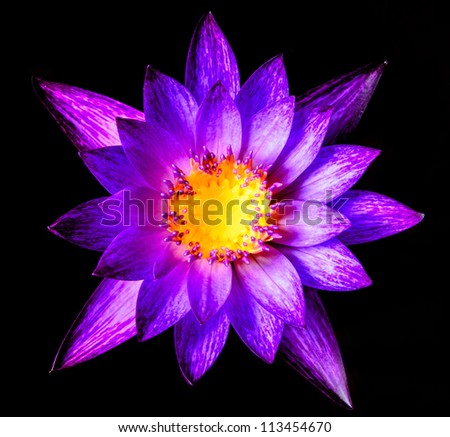 Beautiful purple waterlilly or lotus on water and black background
