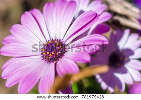Beautiful purple white marguerite in full inflorescence