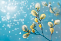 Beautiful pussy willow flowers branches. Easter palm sunday holiday. Elegant artistic image nature. Willow flowers and sunlight. Spring pussy willow branches on turquoise background. Copy space.