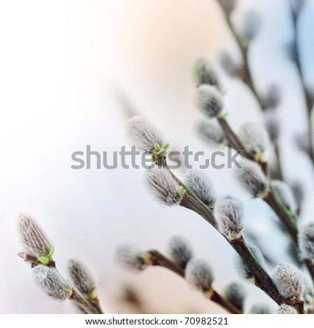 Beautiful pussy willow flowers branches. Soft floral spring frame with very shallow DOF on white background.