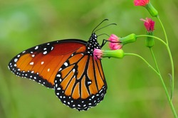 Beautiful Queen (Danaus gilippus) butterfly posed on a red flower feeding
