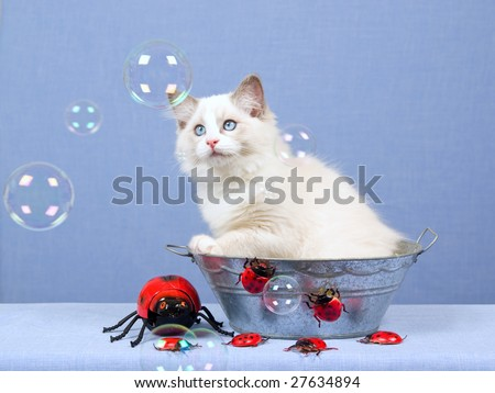 Beautiful Ragdoll kitten sitting inside zinc bath rub decorated with red ladybirds bugs watching soap bubbles