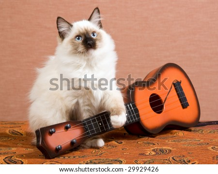 Beautiful Ragdoll kitten with miniature guitar on brown background