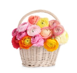 Beautiful ranunculus flowers in whicker basket isolated on white