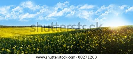 Beautiful rapeseed field