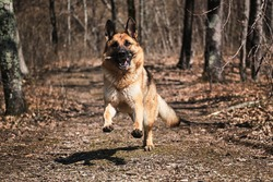 Beautiful red and black German Shepherd runs along narrow forest path and plays with stick. Dog runs fast in park in fall and nibbles on tree branch. Happy shepherd face front view.