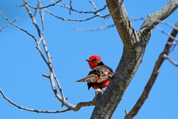 Beautiful red and black Vermillion Flycatcher, pyrocephalus obscurus, perched on a tree, Uruguay, South America