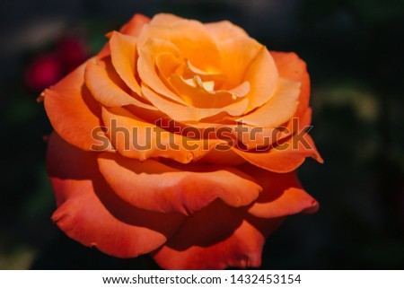 Beautiful red and orange rose flower in garden. Blooming rose on unfocused background. Floral love and romance symbol. Summer blossom concept. Colorful rose flower closeup. Red and yellow rose. #1432453154