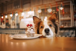 beautiful red and white border collie dog in a cafe