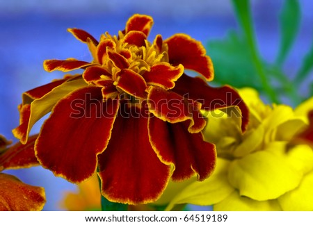 Beautiful Red and Yellow Marigold Flower
