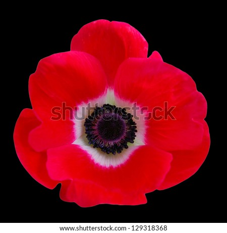 Beautiful red anemone flower on black background
