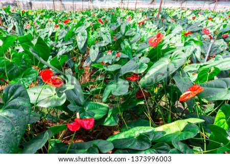 Beautiful red Anthurium flower with green leaves in the flower garden.Originating from Hawaii, a colorful tropical flower  interesting characteristics, showing the meaning of hospitality.
