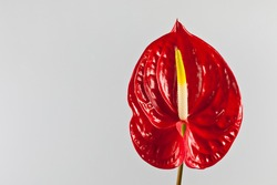 beautiful red anthurium on a white background
