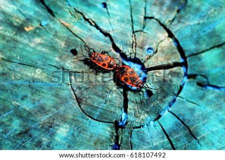 Beautiful red beetles soldiers photographed closeup on a blue tree