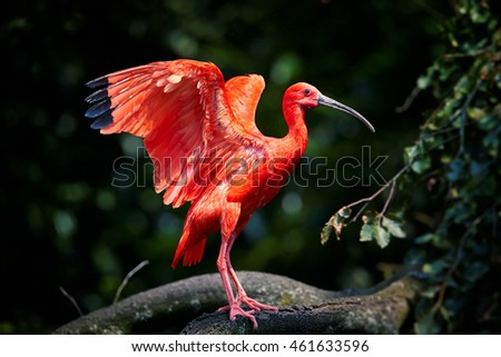 Beautiful red bird, Scarlet Ibis, Eudocimus ruber in its typical environment, outstretched wings, blurred dark green forest as background. Caroni swamp, Trinidad.
