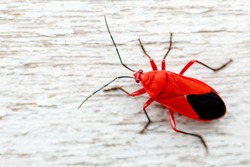 Beautiful red-black insects walking on wooden floor