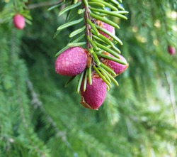 Beautiful red bloom of Norway Spruce (acrocona) against green conifer needle background