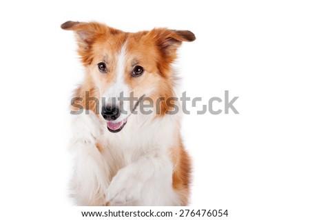 beautiful red border collie dog portrait, isolated on white #276476054