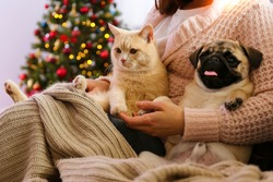 Beautiful red british shorthair cat and adorable pug with their owner over the christmas tree & festive decor. Portrait of beloved pets at home, pine tree, bokeh effect lights. Close up, copy space.