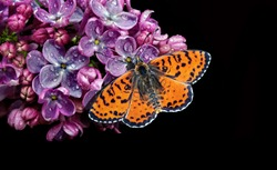 Beautiful red butterfly on a flower on a black background. lilac flower in water drops isolated on black. lilac and butterfly. spotted fritillary butterfly. copy spaces.