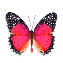 Beautiful Red Butterfly (Red Lacewing) in color transparency of fancy